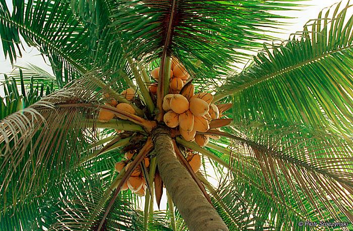 singapur-kolo_lwa-palma_kokosowa